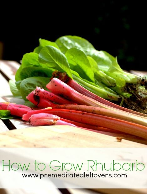 How to Grow Rhubarb - Tips for growing rhubarb, including how to plant rhubarb crowns, how to care for rhubarb plants, and how to harvest rhubarb plants.