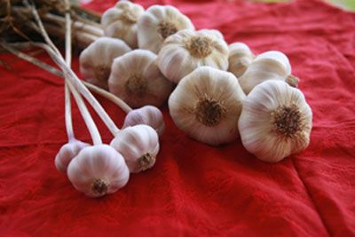 Do you know the best time to plant garlic? Try planting in fall instead of spring for healthy, large garlic bulbs.