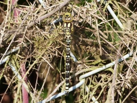 Southern Hawker: check it out | Nature Notes from Dorset