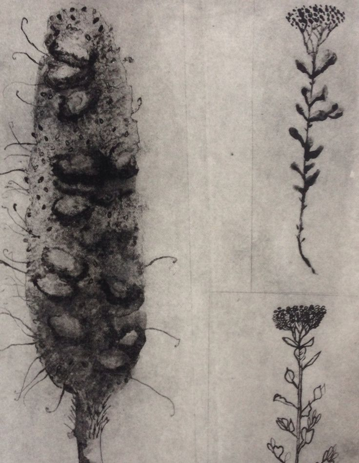 Solar plate etching by Trudy Rice. Banksias