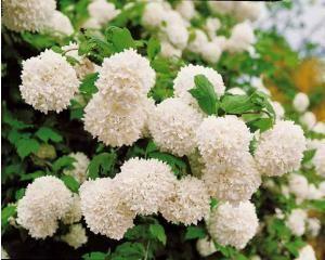 Boule de neige  Viburnum opulus Bel arbuste vigoureux donnant de gros pompons blancs chaque printemps. Ils animeront vos haies libres ou massifs et seront de très bonne tenue en bouquet. Culture facile en tous sols.