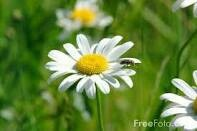 I remember Daisies... We had them before the snow came