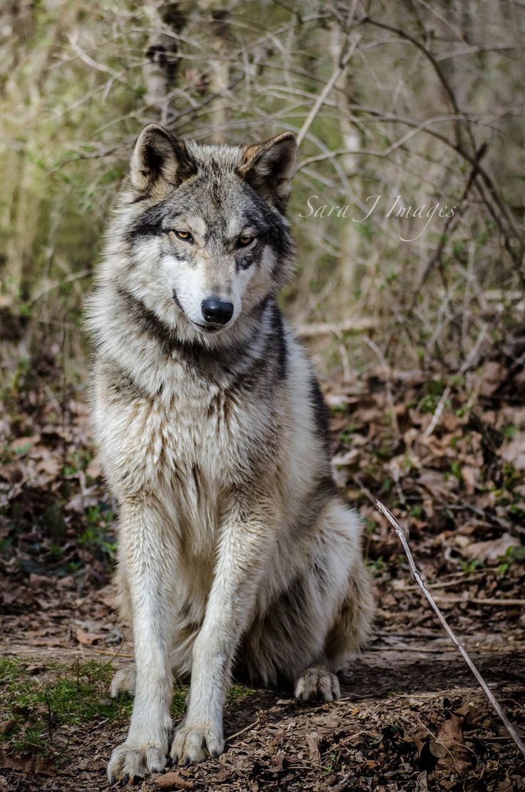 sitting wolf | wolves | Pinterest | Wolves and Art