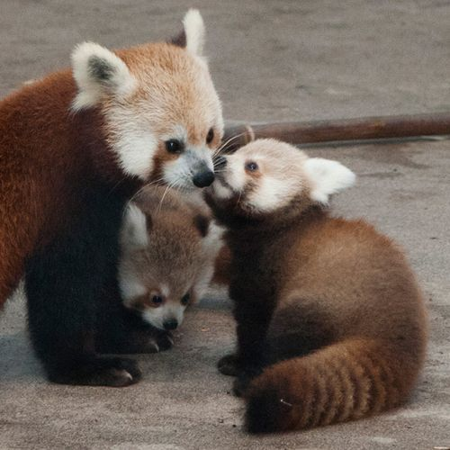 What is more fun than a baby red panda?  Try to compete--just try...