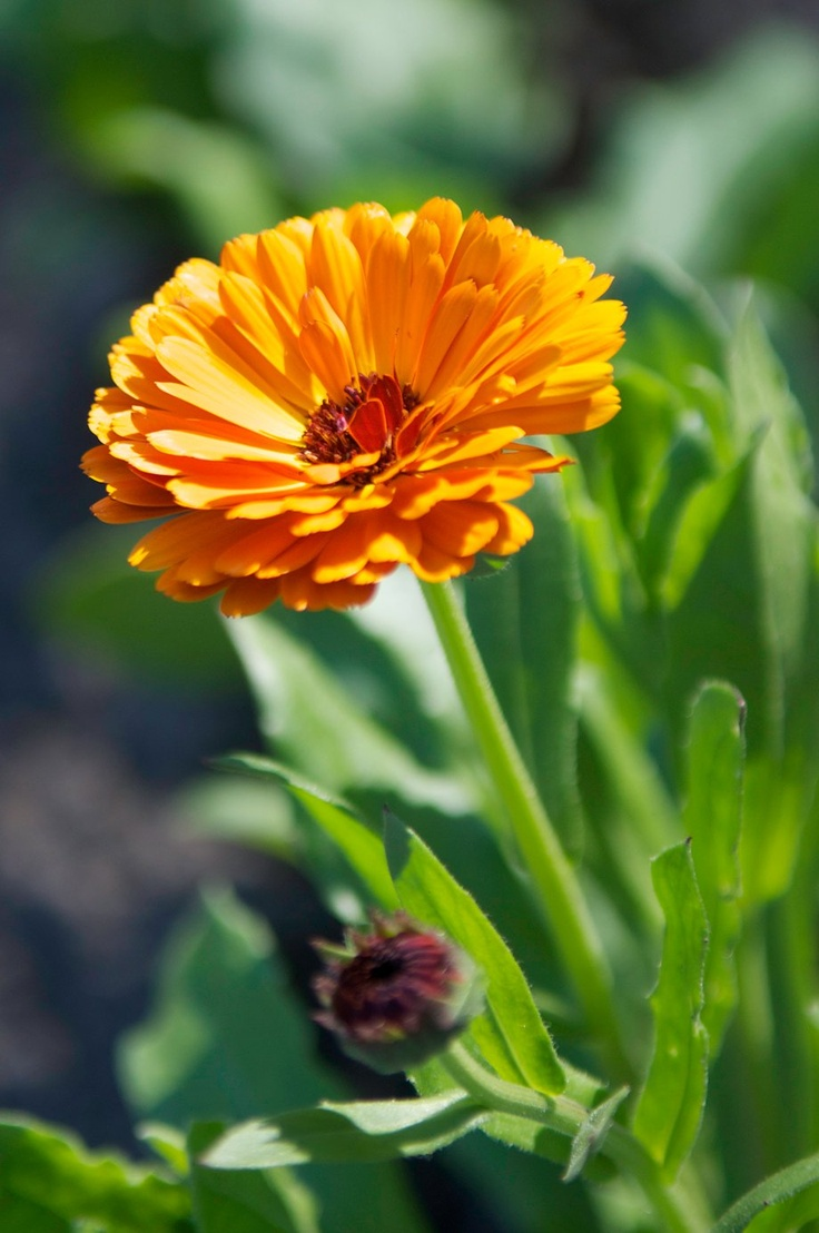 Calendula officinalis - Otherwise known as Pot Marigold is a wonderful skin healing herb often used in lotions, soaps, salves, and ointments. It also has beneficial properties for the immune system and can be used internally as well as externally. It is an annual, but reseeds freely.