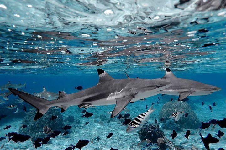 black tipped reef shark! my favorite!!!!
