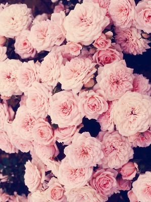 Quotes About Roses And Love Tumblr : pretty flowers pink roses beautiful roses romantic flowers pink rose ...