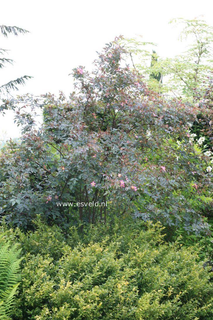 Rosa glauca - Bergroos met opvallende grijsblauwe bladkleur. De hoogte na 10 jaar is 3 meter. De bloemkleur is rose. Deze plant is zeer winterhard. De bloeiperiode is juni - juli.