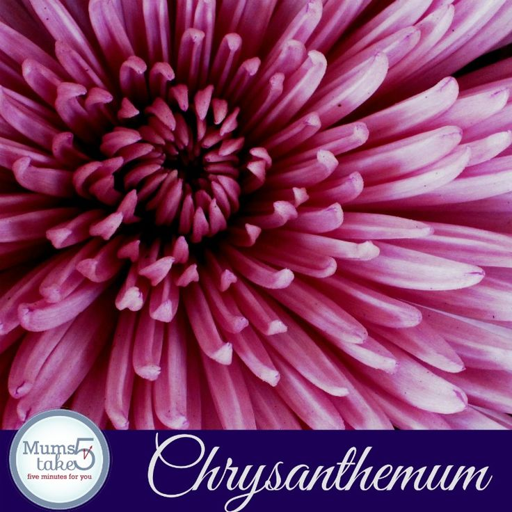 chrysanthemum flower how to care