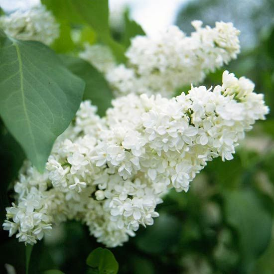Lilac Lilacs are among the most recognizable spring flowering shrubs. If you miss their large cone-shaped flower trusses, you cant avoid their intense fragrance. Lilacs are durable and able to put up with most any growing conditions except shade.
