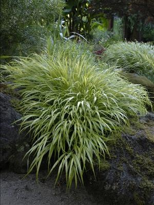 Use near 39 front 39 door japanese forestgrass a slow for Low growing perennial grasses