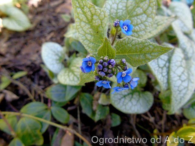 Ogrodnictwo od A do Z : Brunera wielkolistna 'Jack Frost'- Brunnera macrop...