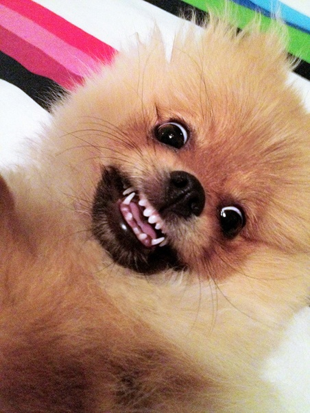 pomeranian faces pomeranian quot say cheese quot face pomeranian pinterest 1059