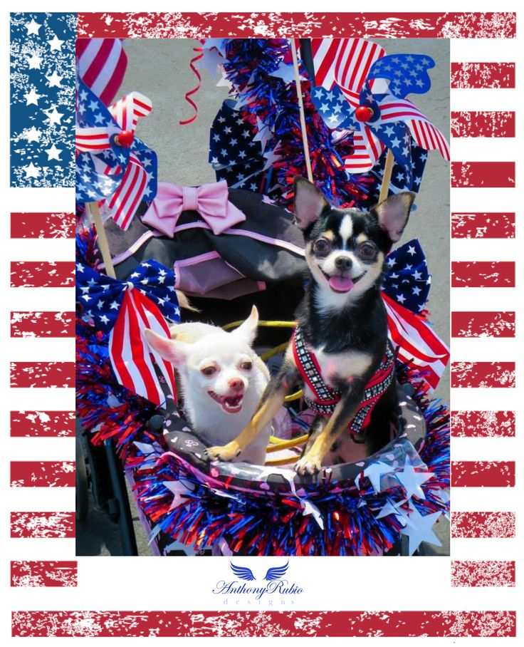 Happy Independence Day from Anthony Rubio and Chihuahuas Bogie and Kimba!  Be Safe and have a wonderful 4th of July weekend. www.AnthonyRubioDesigns.com