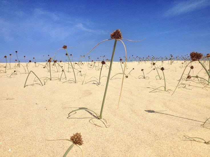 El junco de mar o junquillo (Cyperus capitatus) es una planta herbácea de poca altura, característica de las dunas y jables, común en las Dunas de Corralejo