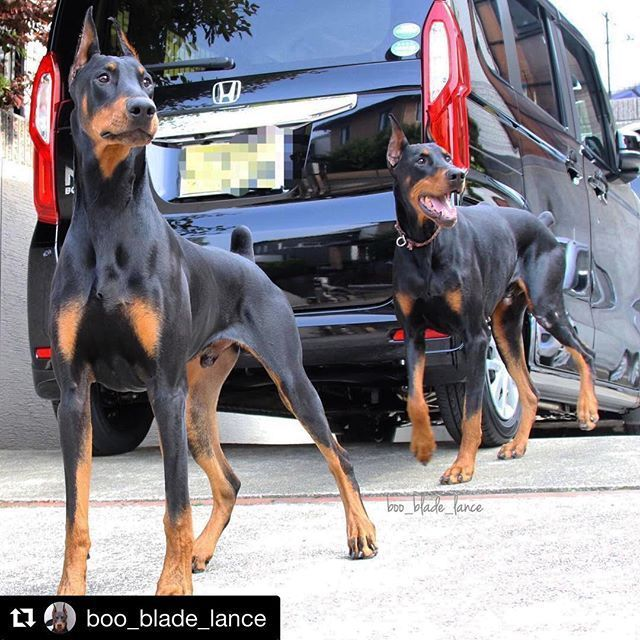 Doberman Pinscher Doberman Pinscher Dog Best Dog Training Doberman