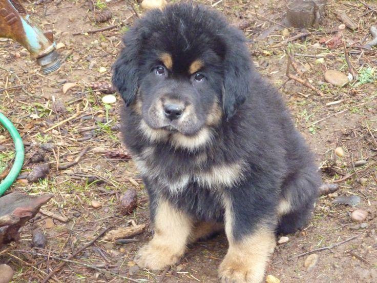 Oregon_Washington_Breeder_Sunset_Tibetan-Mastiff-Puppy