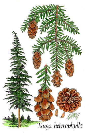 Conifer Species: Tsuga heterophylla | Western Hemlock WA State Tree