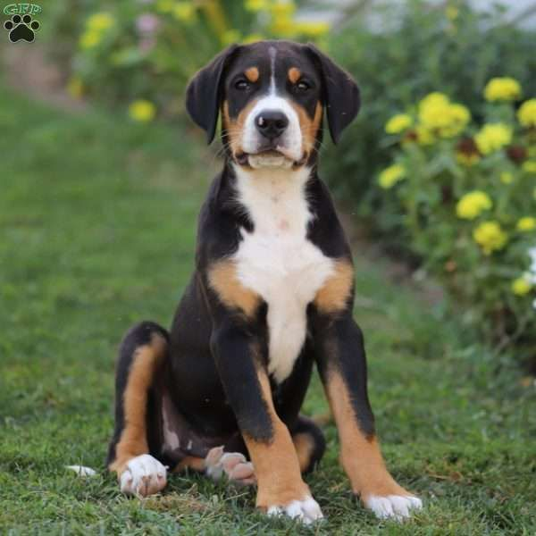 Clifford Greater Swiss Mountain Dog Puppy For Sale In