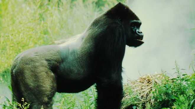 The largest living primate is the eastern lowland gorilla, standing up to 6.6 feet and weighing up to 550 pounds in the wild. The record for largest gorilla goes to Phil, raised in the St. Louis Zoo, weighing in at 860 pounds though he only stood 5.9 feet tall.
