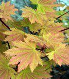 Acer japonica Vitifolium