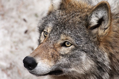 Varg. Svenska vilda djur - Svensk natur iFokus