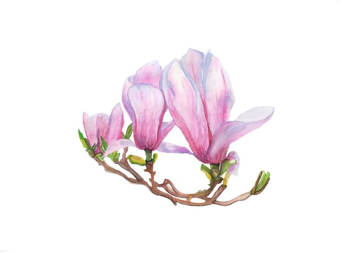 Watercolor. Magnolia. #flower #spring #magnolia #blossom #bloom #floral