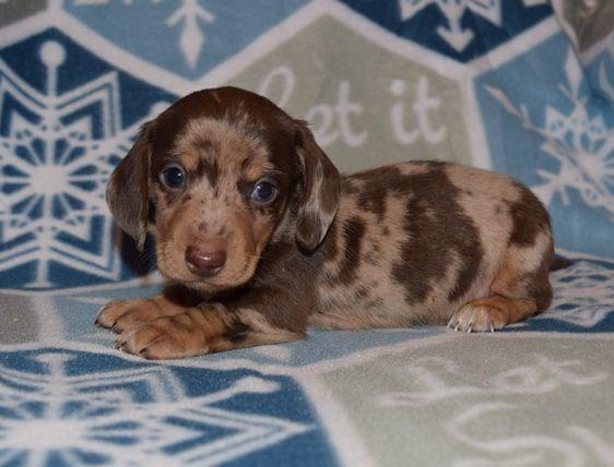 Debbie's Dachshunds Breeder AKC Puppies For Sale Fredericksburg TX