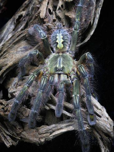 red slate ornamental tarantula