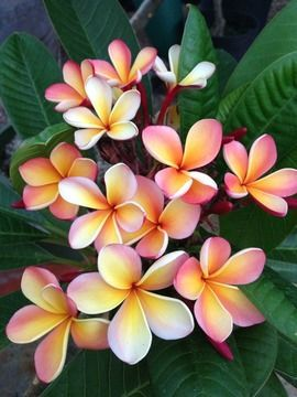 I have never 'met' a frangipani flower, must add to my 'to do list'. Es la flor nacional de mi paìs Nicaragua y se llma Sacuanjoche.