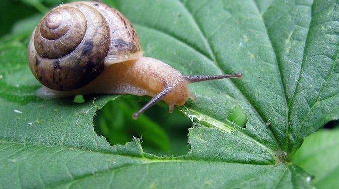 Un Anti-Limace et Anti-Escargot Naturel, Écologique et Gratuit !