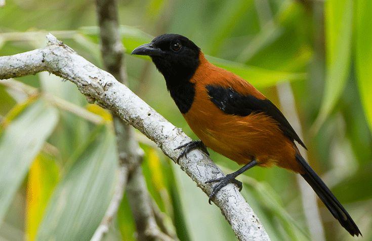 Burung Pitohui memiliki racun pada bagian kulit dan bulunya. Apabila burung ini dipegang tangan kita akan merasakan racunnya.
