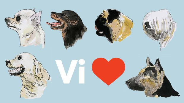 Grafik: Se hvor i Danmark schæferhunde, labradorer og chihuahuas er mest populære