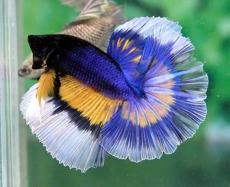 Butterfly Halfmoon Betta | www.imgkid.com - The Image Kid ...