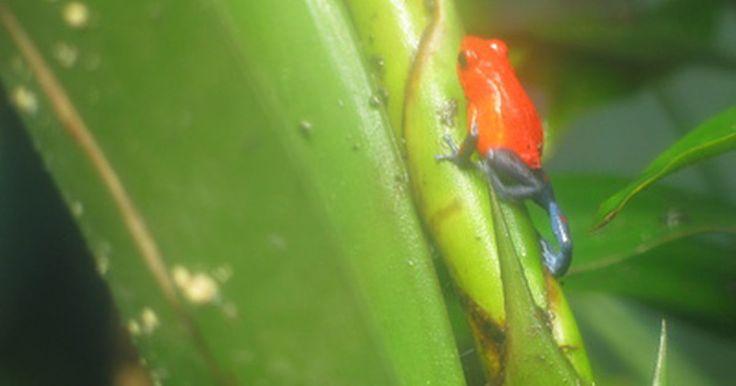 Sapos venenosos em florestas tropicais. Sapos venenosos são anfíbios muito pequenos e coloridos nativos das florestas tropicais das Américas Central e do Sul. Eles são muitas vezes chamados de sapos-flecha-venenosa, porque suas excreções de veneno têm sido usadas por povos nativos para cobrir pontas de flechas e dardos. Esta toxina pode matar pequenos animais e pássaros, e evita que o ...