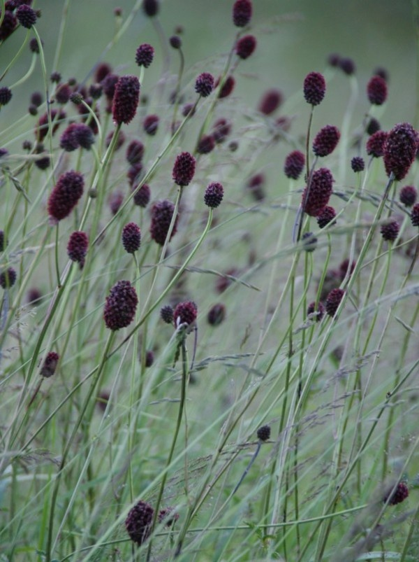 Sanguisorba officinalis 'Arnhem' Familj: Rosväxter – Rosaceae Höjd: 40–80 cm. Stjälk upprätt, förgrenad, kal. Blomma: Radiärsymmetrisk, ca. 2 mm bred. Kronblad saknas. 4 röda foderblad radiärsymmetriskt. 4 ståndare och vid basen sambladig, 2-talig pistill. Blomställningen en avlångt, tätt ax, 1–2 cm lång. Bladen: Parbladiga med uddblad. Småblad (3–7 st) skaftade, 2–4 cm långa, ovala–smalt elliptiska–äggrunda med hjärtlik bas, sågade, under blågrå, vaxtäckta. Långskaftade blad strödda…