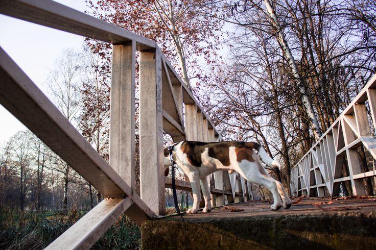 Beagle at the park