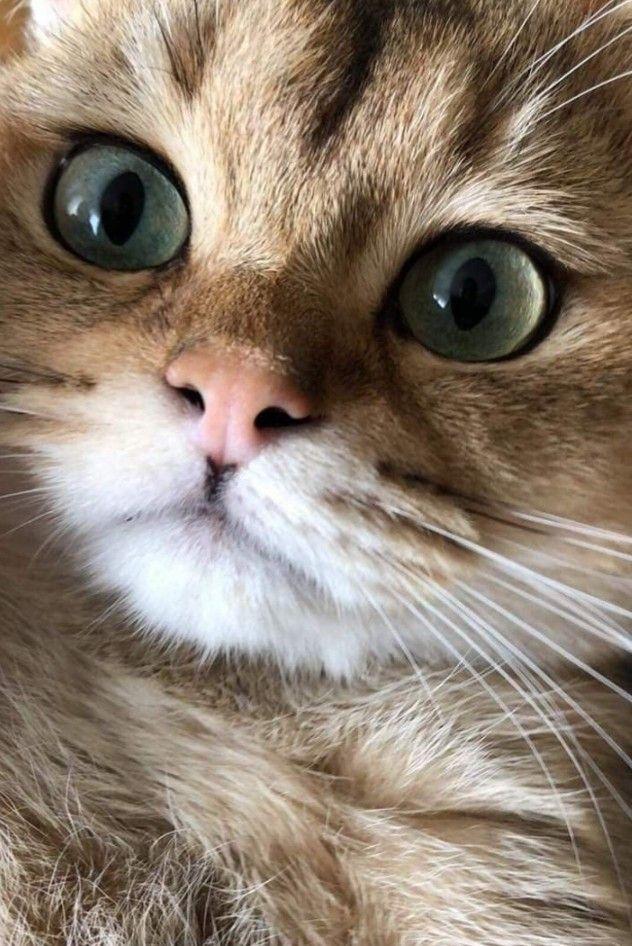 Pin By Xiomara On Animali Pretty Cats Cats Kittens Cutest