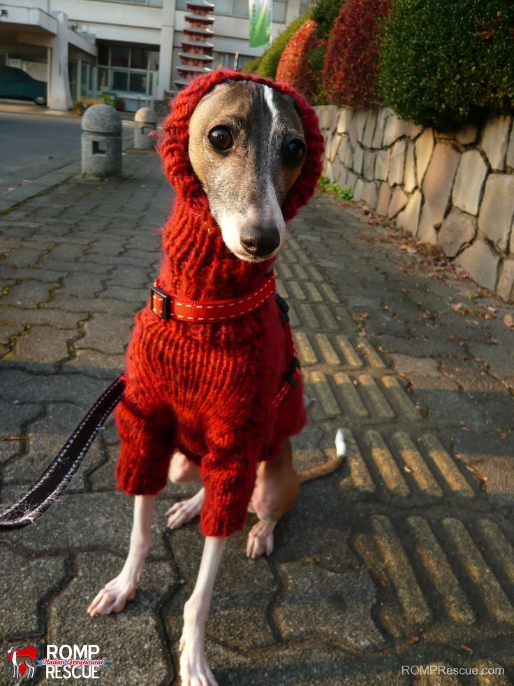 Italian Greyhounds Wearing Turtlenecks Italian Greyhound Funny Funny Italian Greyhound
