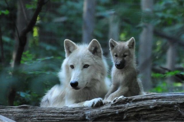 White Wolf and pup