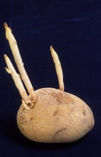 We grow potatoes from potatoes. Learn how to choose the potatoes that will provide your potato seeds.