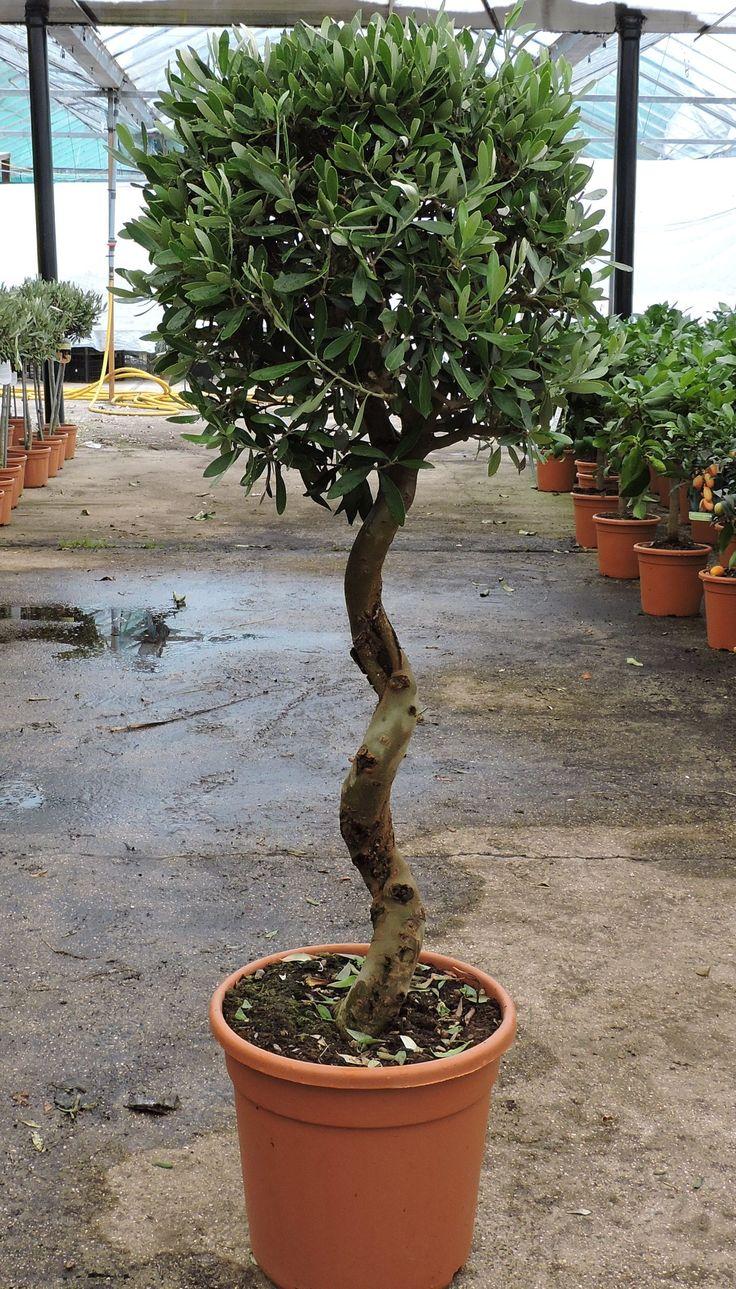 Olive Spiral Stem, 100cm+ height, 10ltr decopot