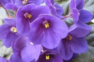 African Violet - Photo courtesy Michael Krefft/stock.xchng.