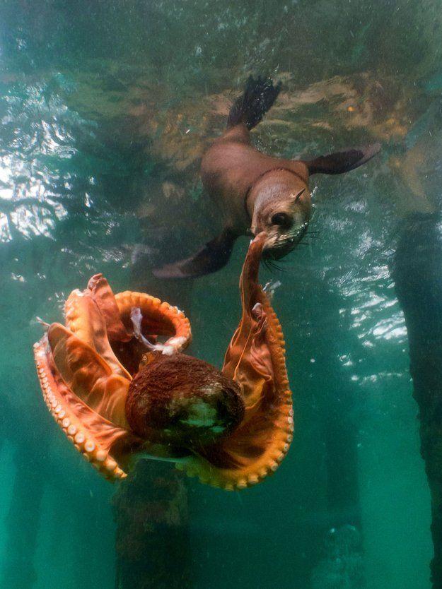 Combat entre un phoque et une pieuvre - http://www.2tout2rien.fr/combat-entre-un-phoque-et-une-pieuvre/