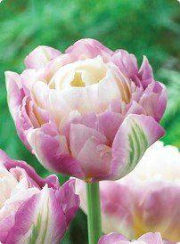 Sweet Desire Tulip Seed Pack Of 50