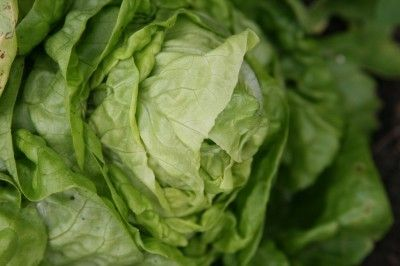 Head Lettuce Problems: What To Do For No Head On Lettuce Plants - Crisp, sweet head lettuce is a mainstay for those first barbequed burgers and spring salads. Gardeners in warmer climates with shorter cold periods may find they get no head on lettuce crops. Learn more here.
