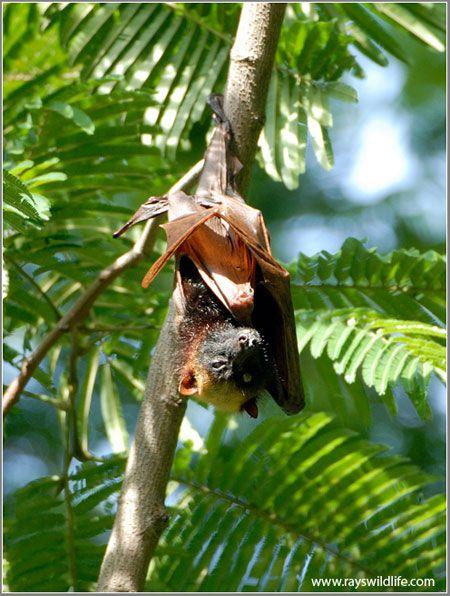 Murciélago zorro volador filipino (Acerodon jubatus), Animal en Peligro de Extinción