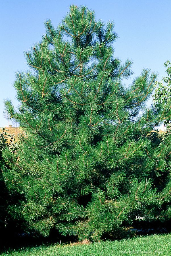Austrian Pine Pinus nigra - Very hardy Withstands city and seaside conditions Able to survive through heat and droughts Grows well in clay and alkaline soils Great for windbreaks Grows to 60' tall with 20' to 40' spread Zones 4 to 7