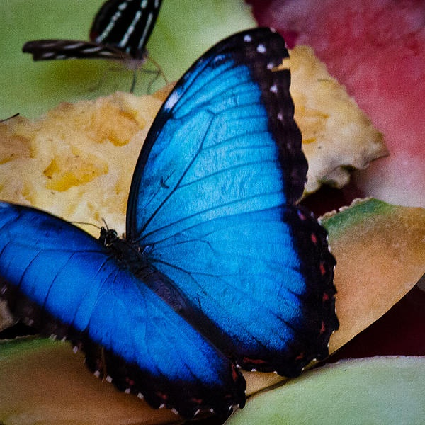 The Common Blue Morpho Butterfly