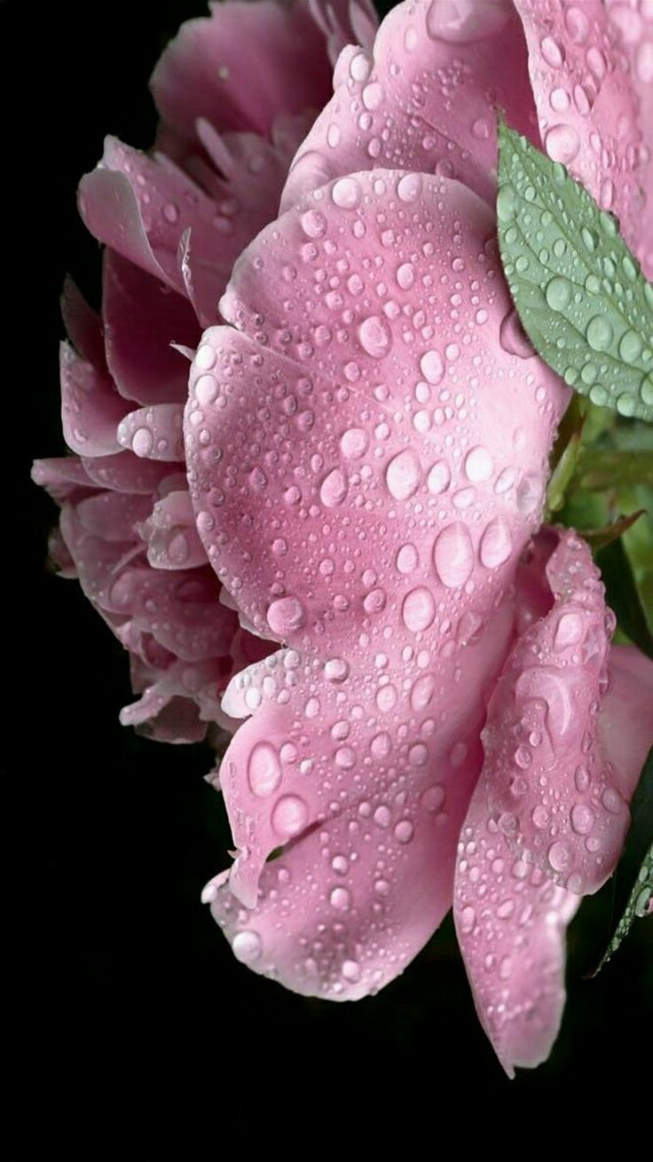 Flowers - Pink peony after the rain. - photographer Barb Postal